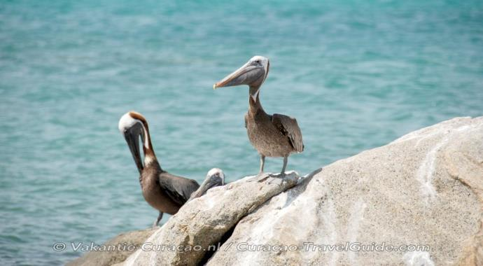 3 pelicans on a rock